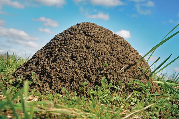 Douse the Flames - How to Get rid of Fire Ants   State-by-State Gardening Web Articles