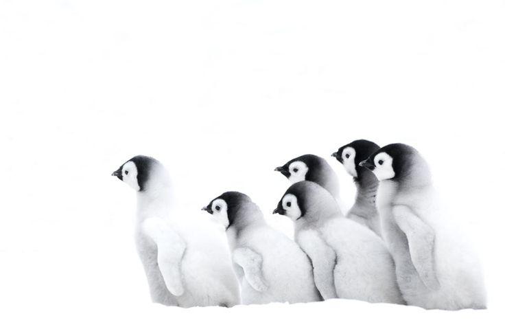 Emperor Penguin chicks   Snow Hill Island - Antarctica