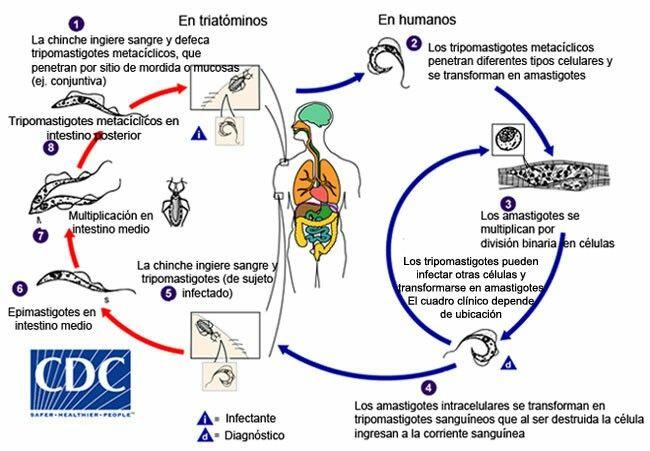 En el HD: tripomastigotas circulantes y amastigotas replicando en células En el HI (T. infestans): Promastigotas en estómago (infectan de por vida al triatomineo), Epimastigotas en Intestino medio (replican), Tripomastigotas hacia el intestino posterior