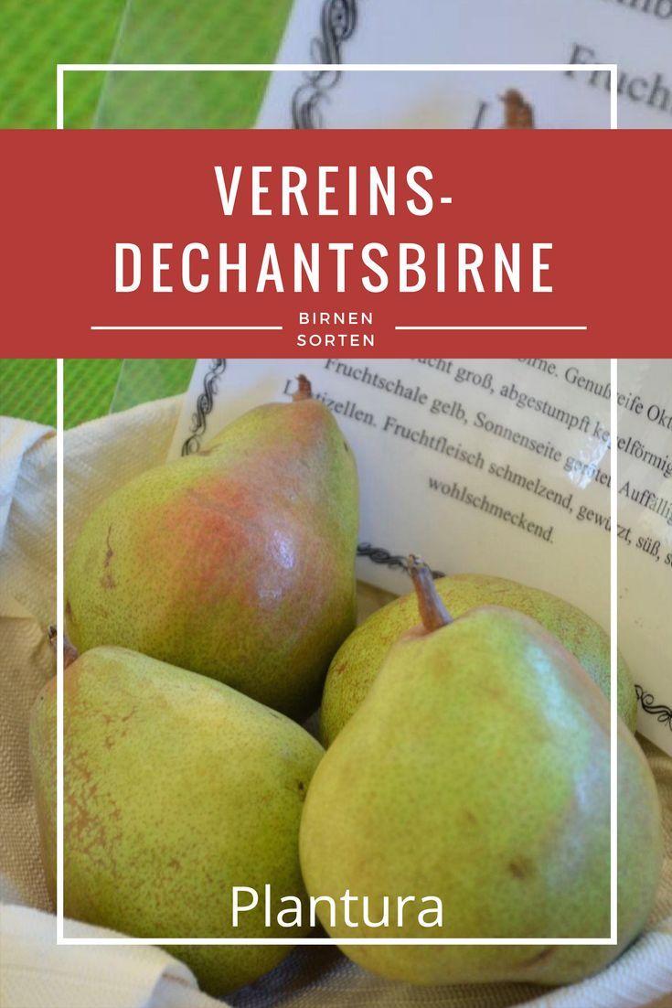 """Die Birne: Vereins-Dechantsbirne: Durch ihren außergewöhnlichen Geschmack wird sie oft als """"Königin der Birnen"""" bezeichnet. Mehr zur Sortenvielfalt der Birnen erfahrt Ihr bei Plantura!"""