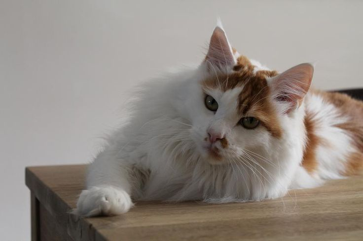 Maine Coon, red solid & white (d 03). NL* Sweet Rialto's Crazy Carotti. Photo by #elliekruithof