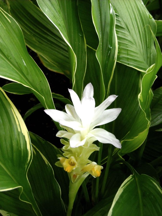 Curcuma petiolata 'Emperor' (Variegated hidden ginger ...