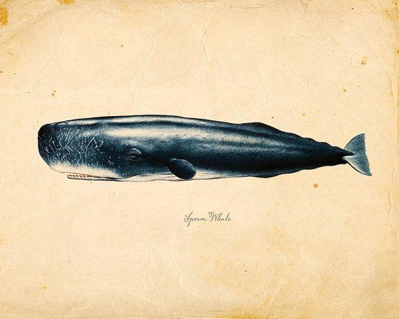 Illustrations sperm whale