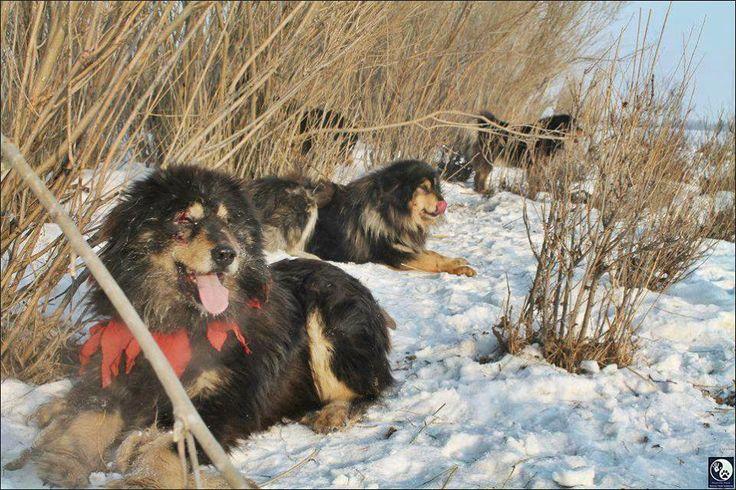 Монгол Банхар Mongolian Mastiff