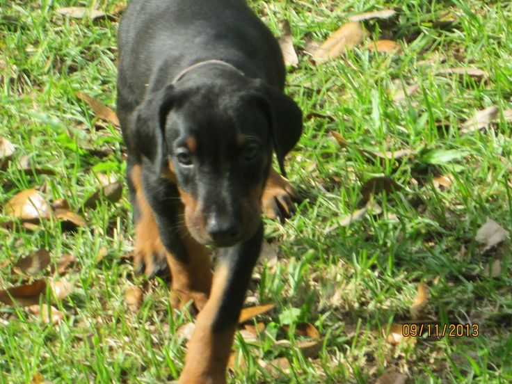 Doberman Pups For Sale in Florida