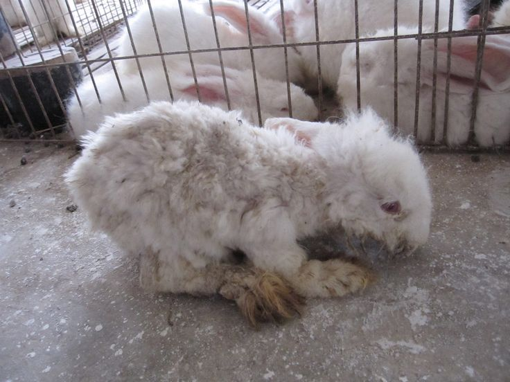 Angora Farm Audits Reveal Extreme Suffering for Rabbits ...