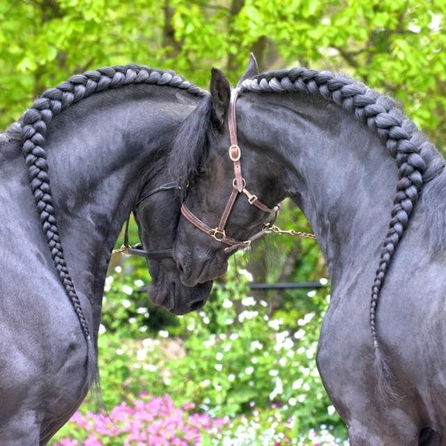 (91) Friesian Horses Hermes