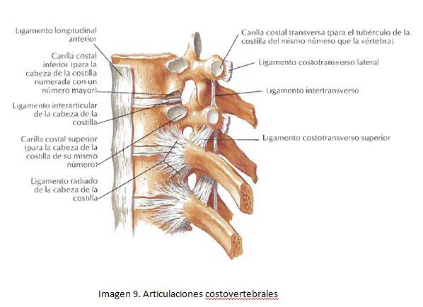 cardiorespiratoriouq: Huesos y articulaciones del toráx por Estiben Urrea O.