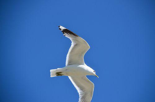 Gull in the air