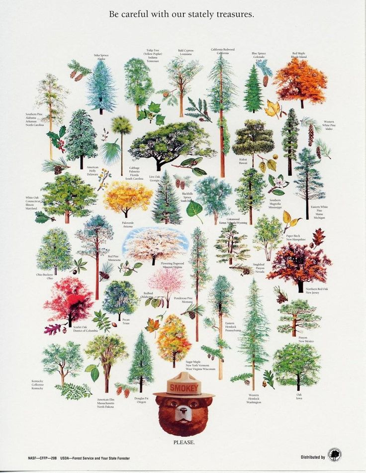 """Smokey Bear's Official State Trees - """"Please be careful with our stately treasures."""" This poster is an illustrated compilation of all 50 official U.S. state trees. Brought to you by your State Forester and the United States Forest Service."""