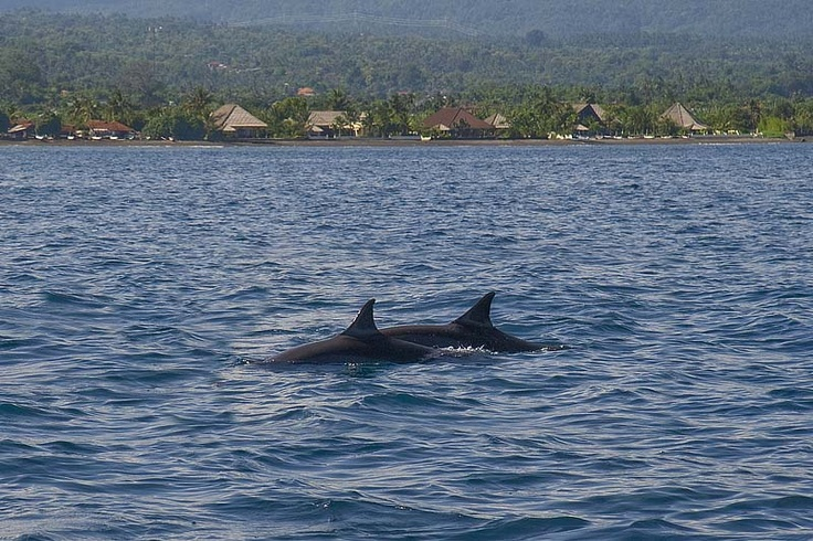 Dolphin watching in front of villa Lovina-beach