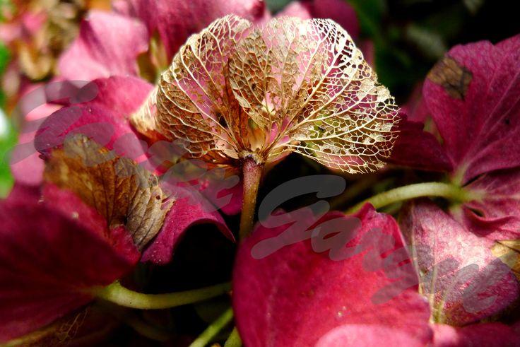 Hydrangea macrophylla - hortensja ogrodowa
