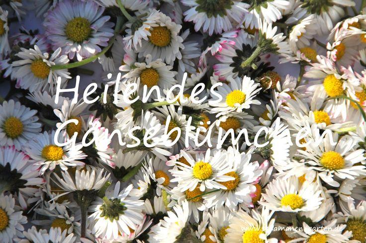 Heilpflanze Gänseblümchen, Heilkraft