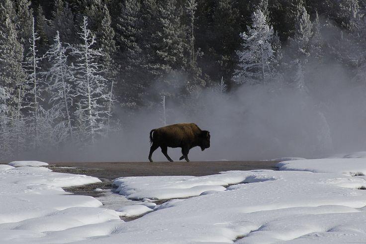 Yellowstone in winter.