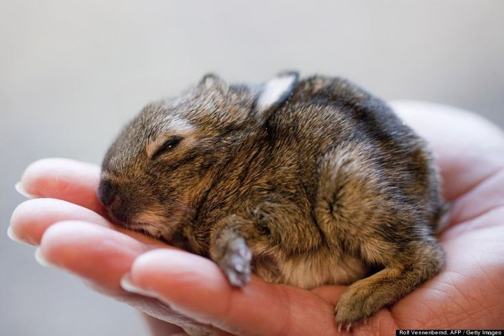 A coisa mais fofa do mundo. Small German bunny found near dung heap!    Photo: Rolf Vennebemd, AFP/Getty Images