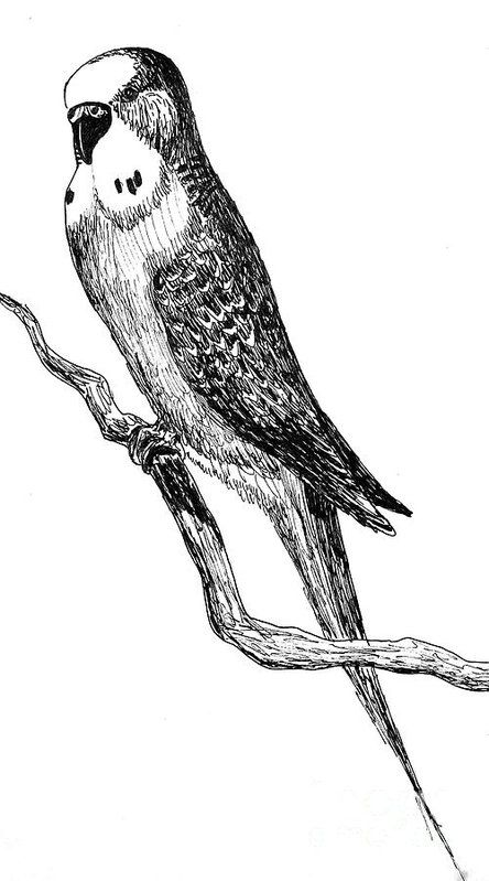'Joey the Budgie' - ink on paper drawing. #handdrawing #draw #ink #illustration #drawing #bird #birds #budgie #feathers #beaks #joey #pets #blackink #blackandwhite #fineartamerica