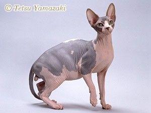 ひみつの嵐ちゃん 3月4日 ユメナマコ スフィンクス : 毛のない猫(ねこ、ネコ)「スフィンクス」の画像まとめ - NAVER まとめ