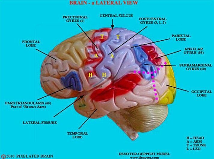 Brain Lateral View Www Anatomynote Com Brain Models Human Brain Anatomy Brain Anatomy