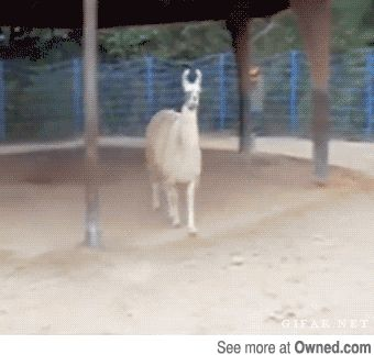 hilarious image, funny, llama, gif, owned