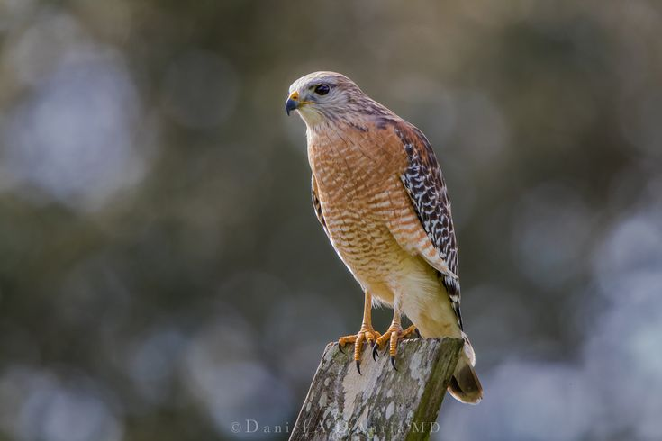 Dr DAD (Daniel A D'Auria MD) posted a photo:  The Red-shouldered Hawk is a medium sized raptor that can be found across much of the eastern US and also along the California and Northern Mexico coasts. Its call is frequently heard before it is seen, but wait…... in many cases that red-shouldered hawk you just heard may actually be a Blue Jay. Jays can mimic the red-shouldered hawk call almost to perfection. Interestingly enough, at times blue jays can fall prey to red-shouldered hawks, which…