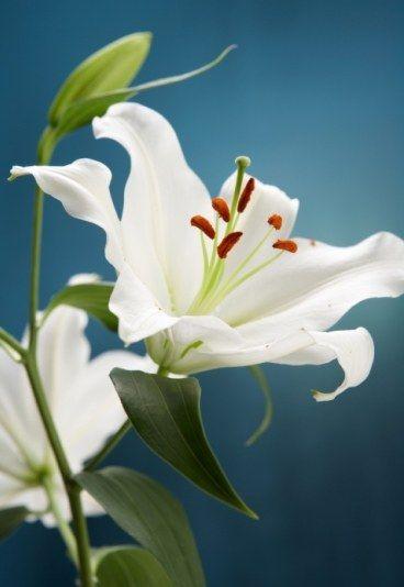 Les 25 meilleures id es de la cat gorie lys sur pinterest lys fleurs de lys et jardin de fleurs - Signification de la fleur de lys ...