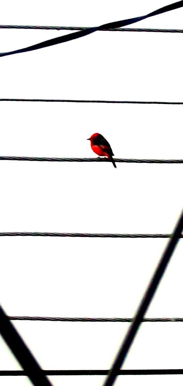 Peti Rojo