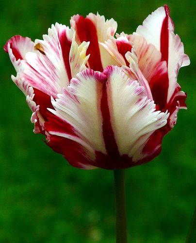 Parrot Tulip 'Flaming Spring Green'