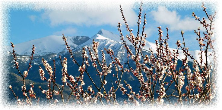 The Canigou with Apricot blossom in the foreground taken March 2013