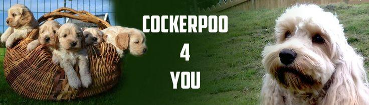 Cockerpoo4you | Hundar att leva med