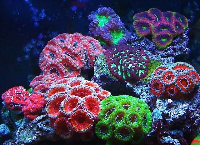 -Variety of acans  -Blastos:Purple with green centers. I have a 2 polyps of the PPE blasto but he got stung by accident from my scoly so he's in the back healing  -2 Scolymias  -Cynarina:My center piece in my tank.  -Green Nepthea softie  -Some favias:Christmas favia,Prism favia,Baby's Breath,Purple and green favia  -Green Bubble coral  -Some chalices: Pink Watermelon, Red Watermelon, Emerald Mummy Eye,BGM,Red chalice,Rainbow one and a Pink one.  -Orange Fungia Plate coral with blue tips…