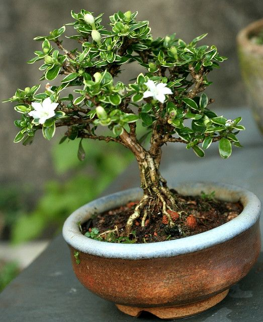 700 best green bonsai images by blanca ni o on pinterest bonsai rh pinterest com Maple Bonsai Bougainvillea Bonsai