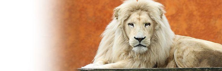 lion_blanc_zoo_jurques.jpg
