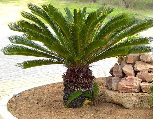 CYCAS n.m. Arbre gymnosperme, à port de palmier, vivant dans les régions tropicales.