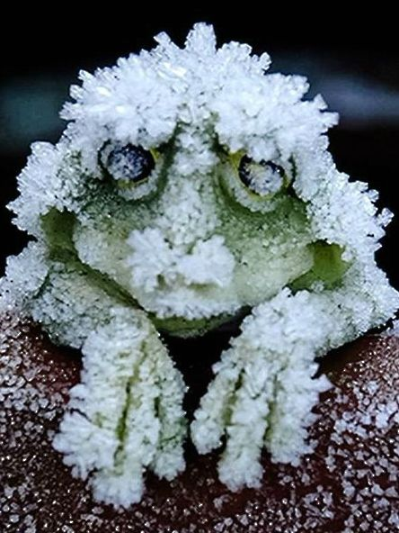 ~~Each September, the wood frogs of Alaska do a very strange thing: They freeze.They do not freeze totally solid, but they do freeze mostly solid for seven months, then they thaw and hop away | LA Times~~