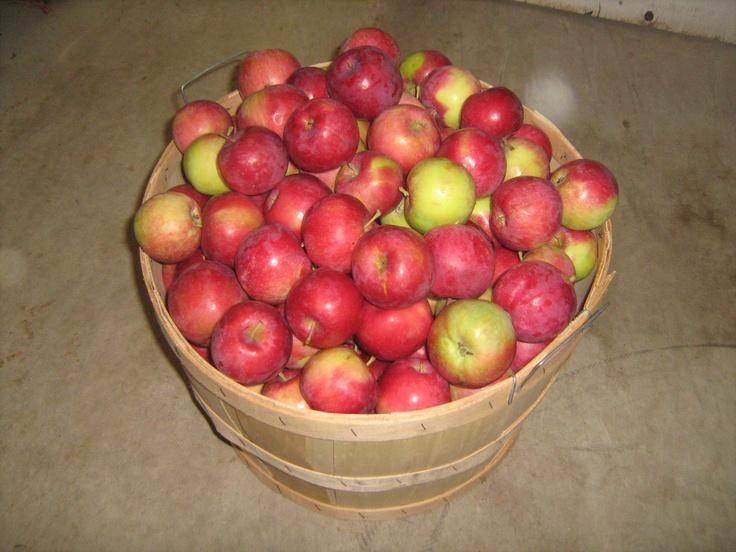 A bushel of our 'JerseyMac' apples.
