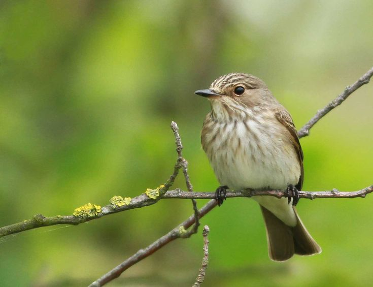 Papamosques gris - Papamoscas gris - Muscicapa striata - Spotted Flycatcher