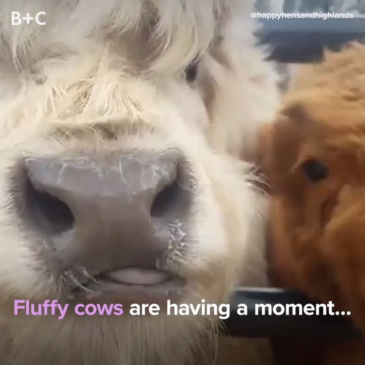 Fluffy cows are the cutest!