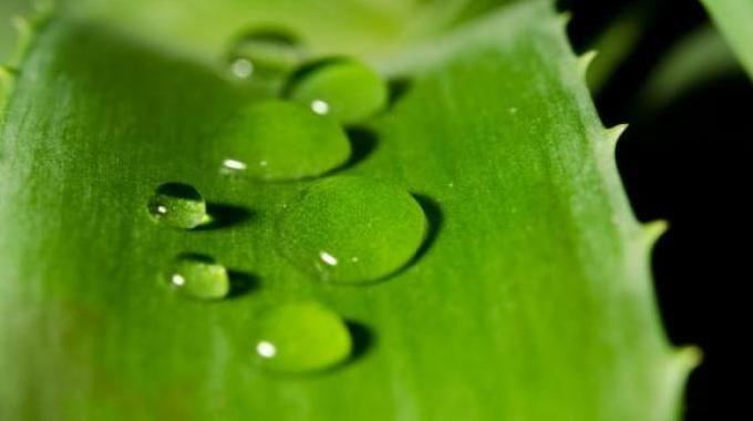 L'Aloé Vera est l'un de nos meilleurs amis santé et beauté. Ingrédient hydratant et protecteur, ou remède médical naturel, il est un atout bien-être incontournable. L'Aloé Vera est une plan...