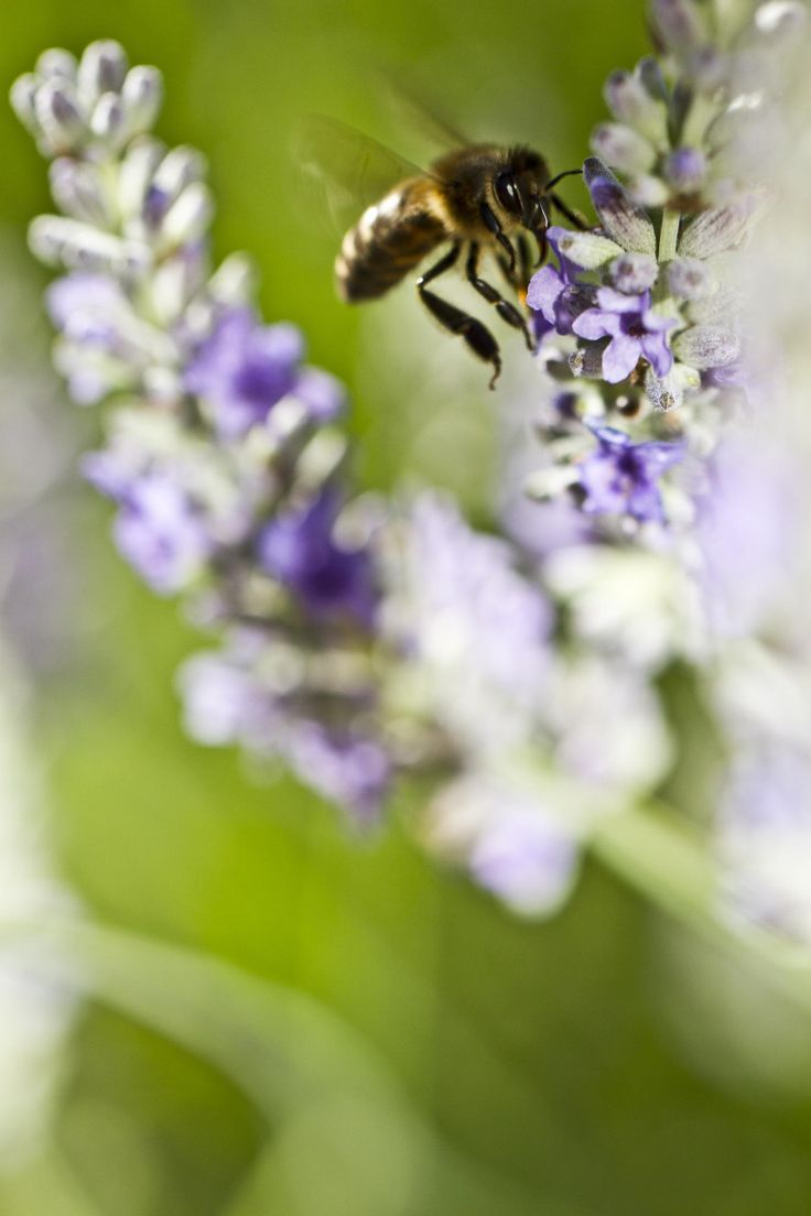 Bee in lavender by Pedro Oliveira on 500px, 95.4, CameraCanon EOS 7D LensCanon EF 100 mm 2.8 L IS USM Macro Focal Length100mm Shutter Speed1/640 s Aperturef/4 ISO/Film100 CategoryMacro UploadedAbout 1 month ago TakenJune 8, 2014