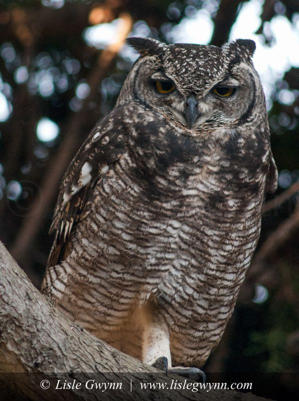 Spotted Eagle Owl - Constantia, Cape Town - 18_04_2011_37 - Copy-2