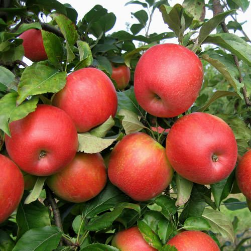 Care and Growing Honeycrisp Apples  How to Grow Honeycrisp Apple Tree