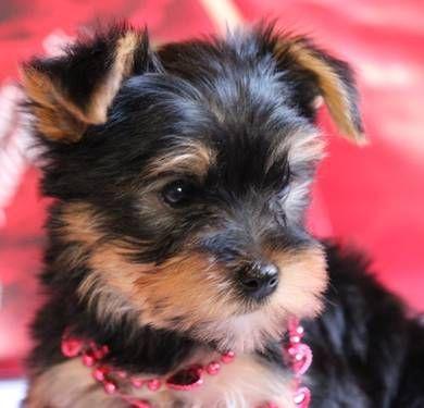 AKC Toy Yorkshire Terrier (Yorkie) Puppy