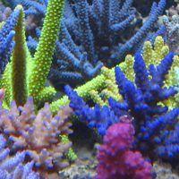 Korallen Zucht Introduces new Coral System - https://www.reefs.com/2016/05/14/korallen-zucht-introduces-new-coral-system/