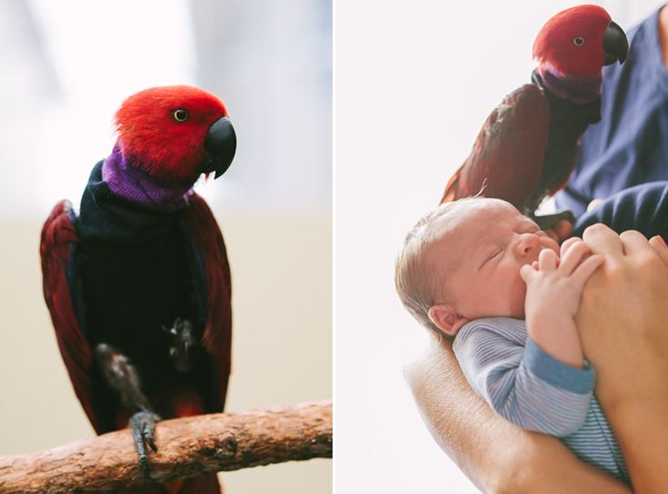 eclectus parrot and baby
