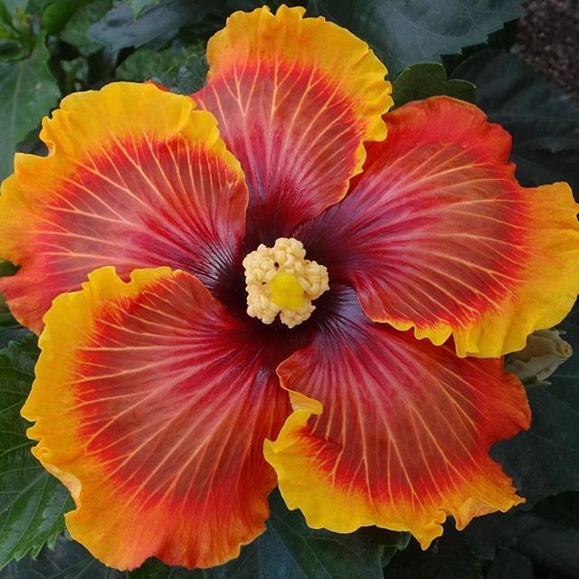 Colorlicious Hibiscus Gardens Colorlicioushibiscus Instagram Photos And Videos Hibiscus Flower Drawing Container Gardening Flowers Patio Flowers