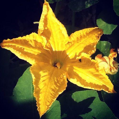 Mi flor de calabaza