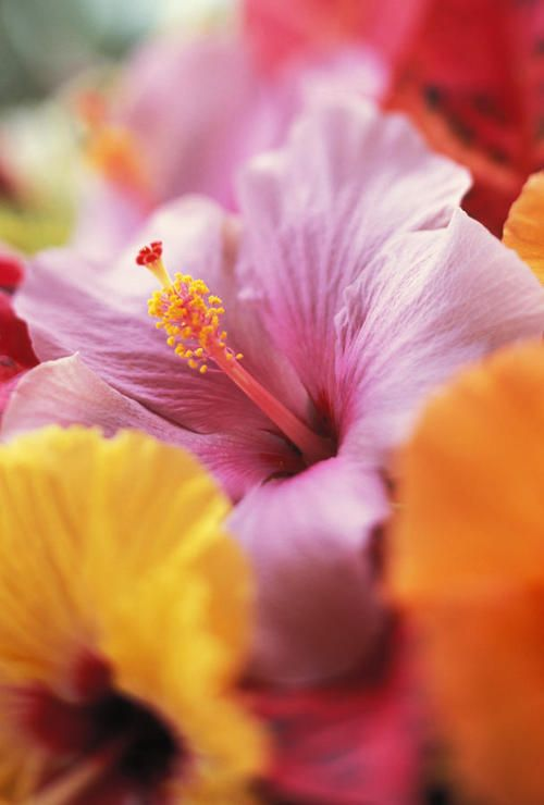 HibiscusTropical Flower, Hawaiian Flower, Colors, Beautiful, Hibiscus Flowers, Flower Gardens, Pretty Flower, Floral, Flower Photography