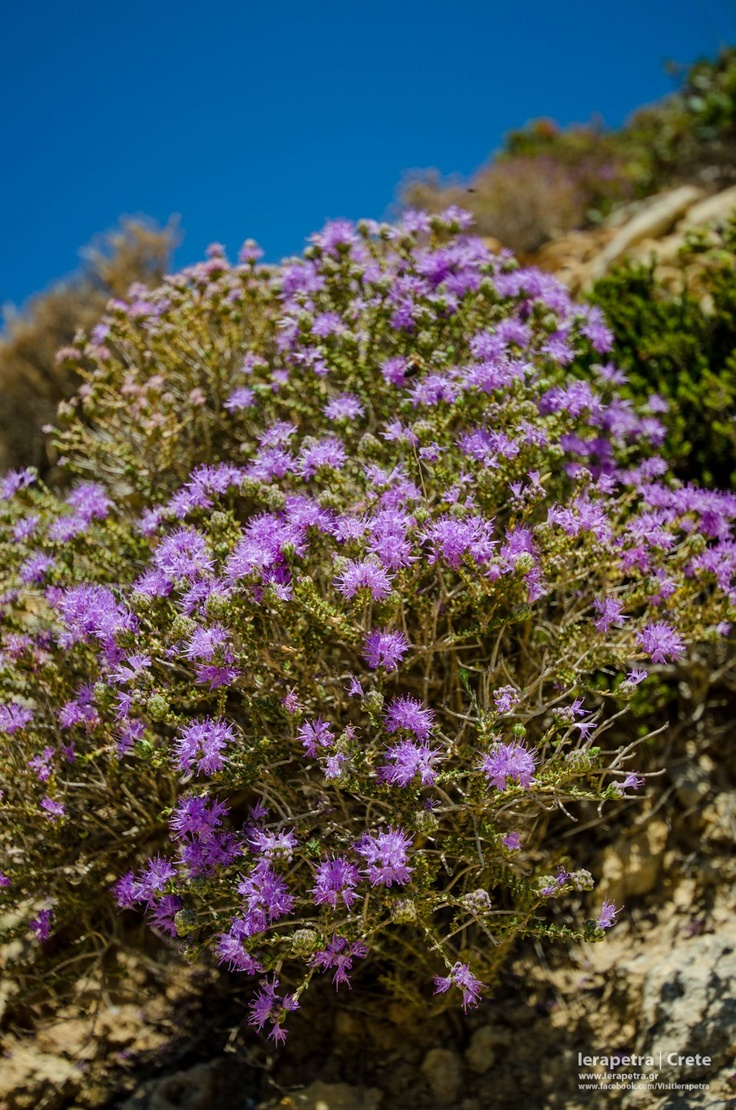 A beautiful Cretan Thyme bush in bloom. One of the most common aromas that you can enjoy when trekking the mountains of Ierapetra region.    Ένα πανέμορφο ανθισμένο Κρητικό θυμάρι, γεμίζει με υπέροχο άρωμα τις ορειβατικές διαδρομές μας.