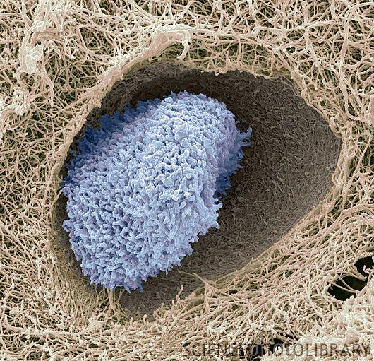 Tecido Cartilaginoso é resistente e flexível. Sua função é de sustentação e revestimento, por exemplo, a orelha, o nariz, a traqueia. Além disso, a cartilagem amortece o impacto dos movimentos na coluna vertebral. Exemplo da Imagem: Condrócitos (em azul)  - Eles participam do crescimento diagonal da cartilagem, onde divisões mitoticas das células e excreção de mais matriz entre as células filhas permitem a expansão da cartilagem.