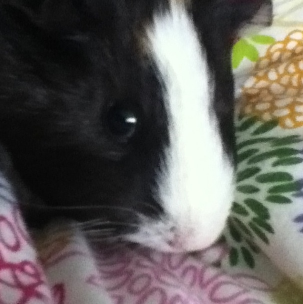 """Squeak, Squeak, Squeak"" -Eleanor the guineapig"